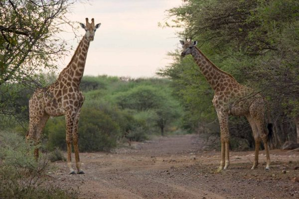 Thabaledi-Game-Lodge-Giraffes-Slider