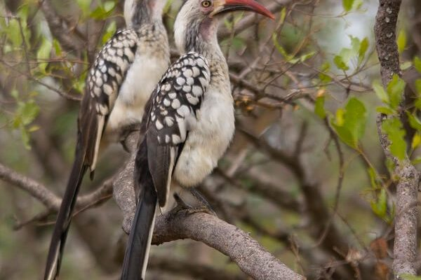 Thabaledi-Game-Lodge-Red-Horn-Bill-Couple