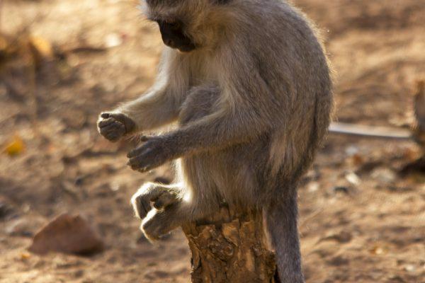 IMG_7041 Monkey stare - Copy
