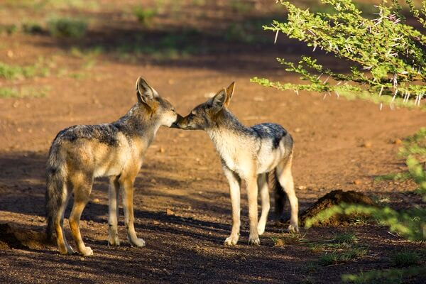 Thabaledi-Game-Lodge-Jackal-Pair-1